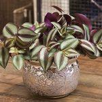 Фото 34: Комнатное растение традесканция фото