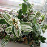 Фото 54: Выращивание традесканции белоцветковой