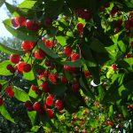 Фото 46: Красные ягоды татарской жимолости