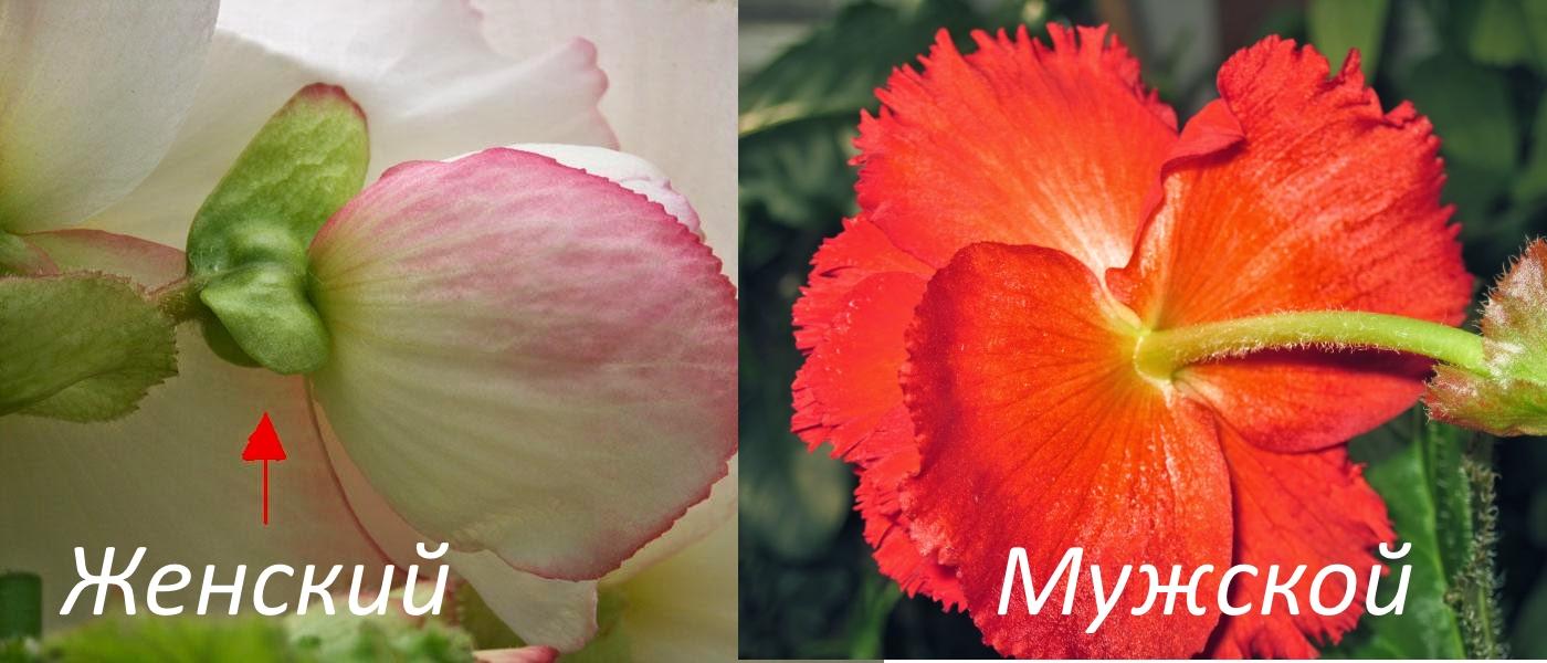 Женский и мужской цветок бегонии