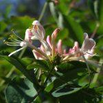 Фото 80: Соцветие жимолости Морена
