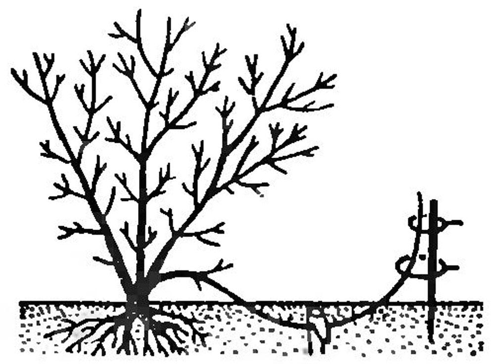 Размножение жимолости отводками