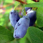 Фото 130: Жимолость золушка описание сорта фото