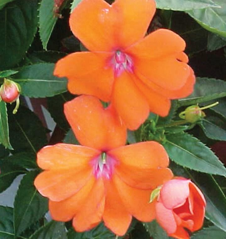 бальзамин оранжевый