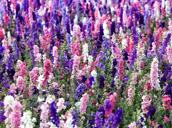 дельнифиниум цветы