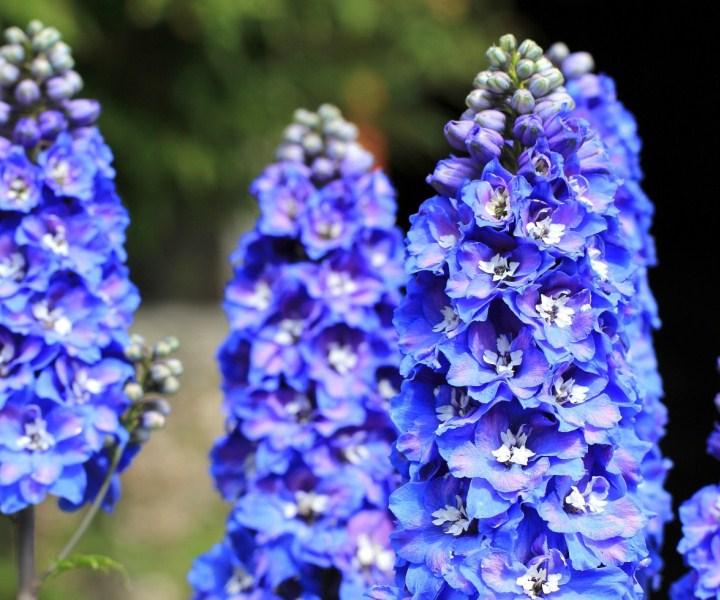 дельфиниум c синими цветами