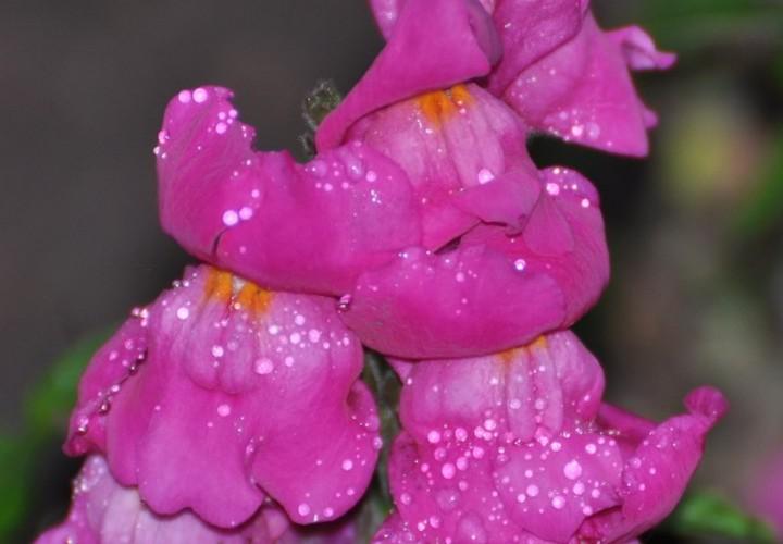 ьвиный зев фиолетовые цветы