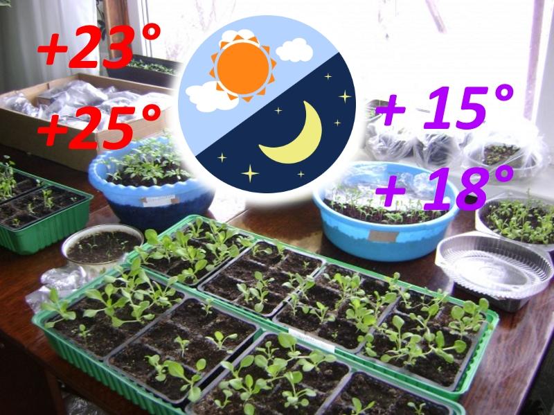 Температура для выращивания рассады петунии