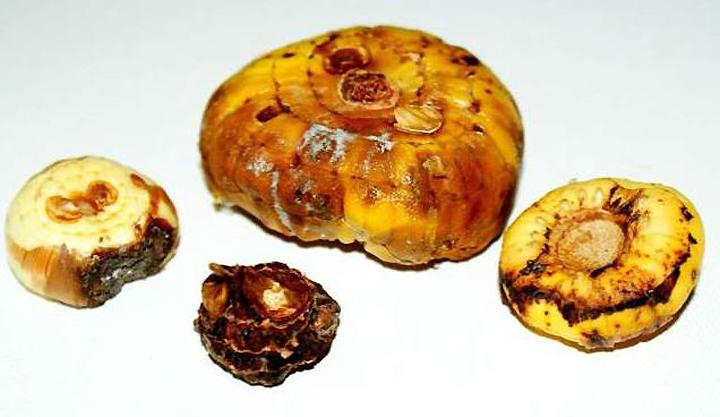 Пораженная трипсами луковица гладиолуса