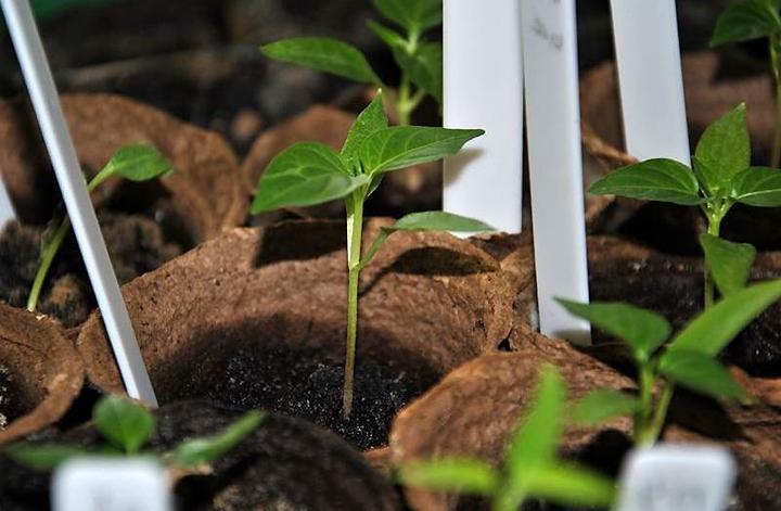 Выращивание рассады перца в торфяных горшочках
