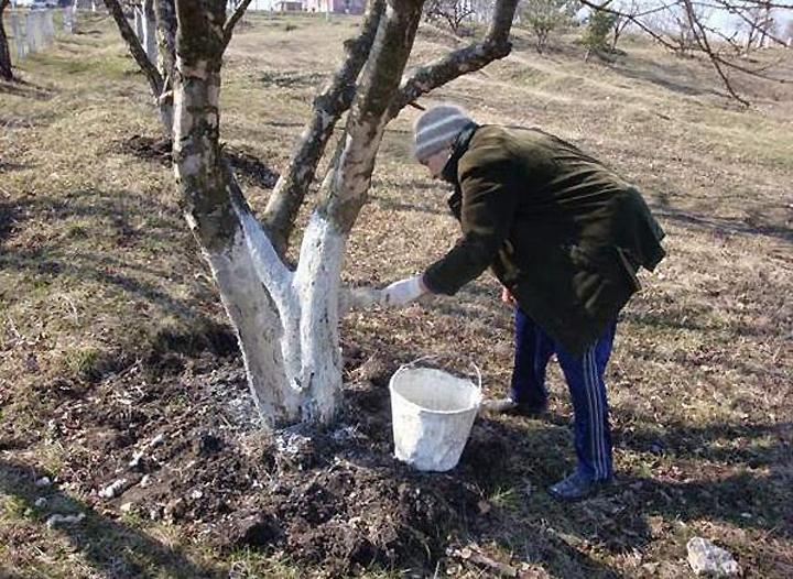 Весенняя побелка плодовых деревьев