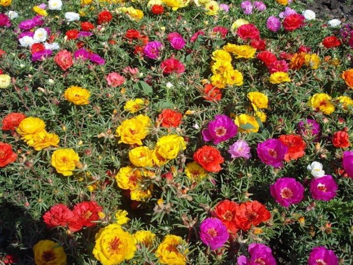 Цветочный ковер из портулака