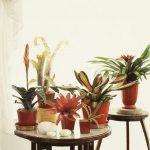 Фото 99: Бромелия гузмания уход в домашних условиях фото