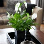 Фото 18: Цветение спатифиллума