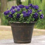 Фото 93: Петуния Double Cascade Blue Hybrid Petunia
