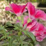 Фото 97: Godetia grandiflora