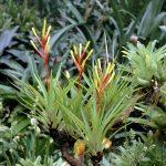 Фото 104: Guzmania Dissitiflora в саду