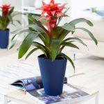 Фото 109: Комнатный цветок гузмания фото и уход