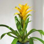 Фото 35: Гузмания Рондо с желтым соцветием