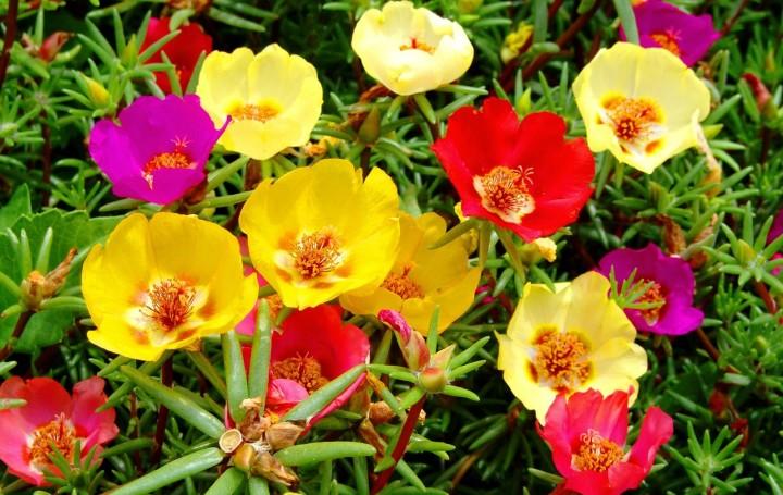 Портулак: красивый цветочный ковер
