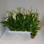 Фото 61: Spathiphyllum Chopin Ultimo