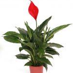 Фото 82: Spathiphyllum Cupido Zero