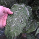 Фото 50: Листья спатифиллума Домино