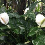 Фото 52: Спатифиллум Домино в природе