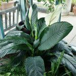 Фото 77: Spathiphyllum 'Mauna Loa'