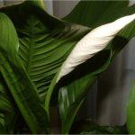 Фото 131: Spathiphyllum Mauna Loa