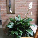 Фото 27: Выращивание спатифиллума обильноцветущего