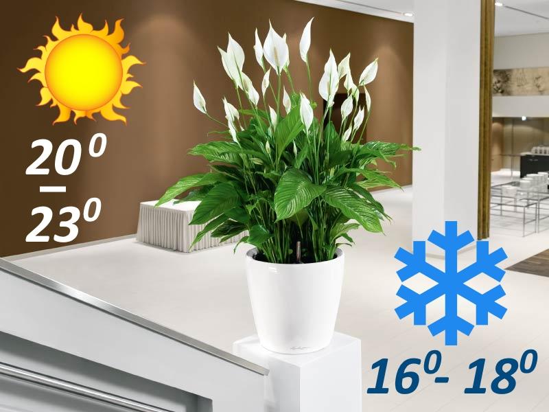 Температура для выращивания спатифиллума