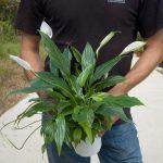 Фото 30: Spathiphyllum wallisii Peace Lily