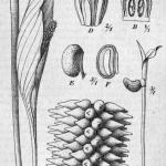 Фото 47: Строение спатифиллума ложковидного