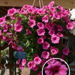 Фото 114: Петуния Surfinia Hot Pink