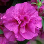 Фото 120: Петуния Tumbelina Candyfloss