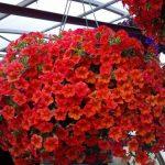 Фото 85: Фото цветы петуния
