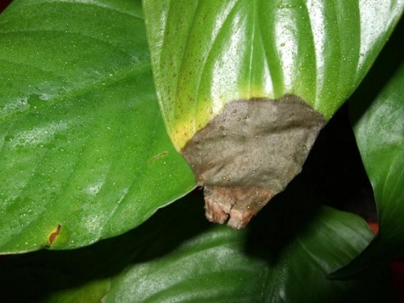 Почернение листьев спатифиллума
