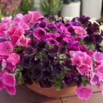 Фото 67: Петуния богатое цветение фото