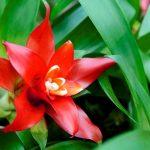 Фото 49: Цветение кроваво-красной гузмании