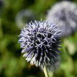 Фото 77: Цветение лука–порея