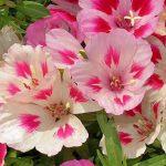 Фото 34: Годеция крупноцветковая maiden blush