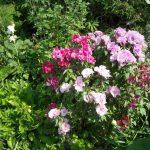 Фото 48: Годеция Монарх в саду