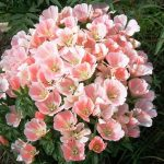 Фото 65: Выращивание годеции Сибилл Шервуд