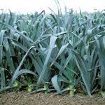 Фото 50: Выращивание лука – порея Коламбус