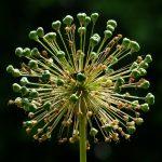 Фото 78: Бутоны соцветия лука порея