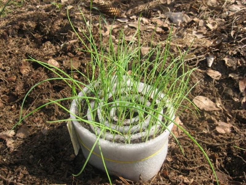 Выращивание рассады лука–порея способом улитки