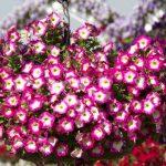 Фото 61: Петуния многоцветковая хайлайт