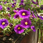 Фото 91: Фиолетовая петуния