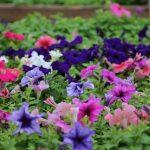 Фото 129: Разнообразие петунии